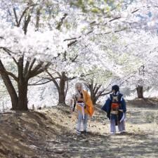 「虎山弐千本桜」関東最大級!